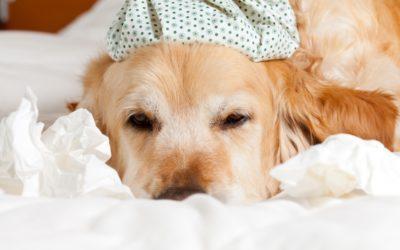 Warning – Canine Influenza (Dog Flu) is Back in Madeira Beach FL